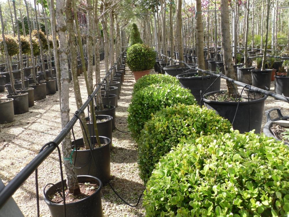 Vivai mello alessandro vivai piante for Vivai piante